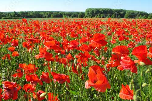 Red poppies field. Beautiful rural scenery.