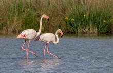 Greater Flamingo (Phoenicopterus Roseus) - The Couple