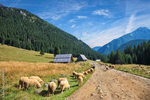wypas-owiec-w-dolinie-chocholowskiej-w-tatrach-polska