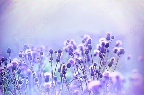 Canvas Print Flowering thistle - burdock lit by sunlight