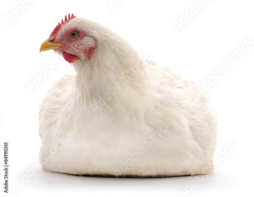 Papiers peints Poules White hen.