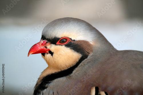 Photo  partridge