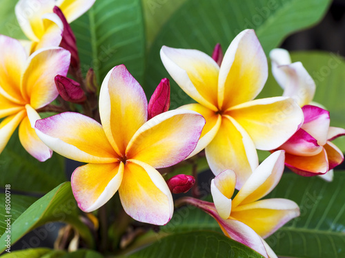 Spoed Foto op Canvas Frangipani colorful plumeria flower and leaf