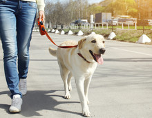 Owner And Labrador Retriever Dog Walking In The City