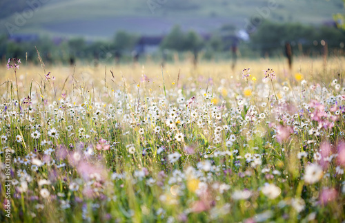 Summer meadow full with daisies after rain Fototapeta