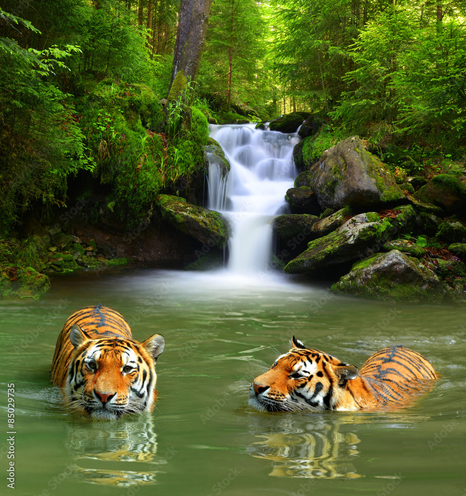 Fototapety, obrazy: Siberian Tigers in water