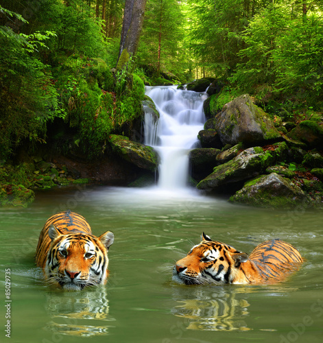 Papiers peints Bestsellers Siberian Tigers in water