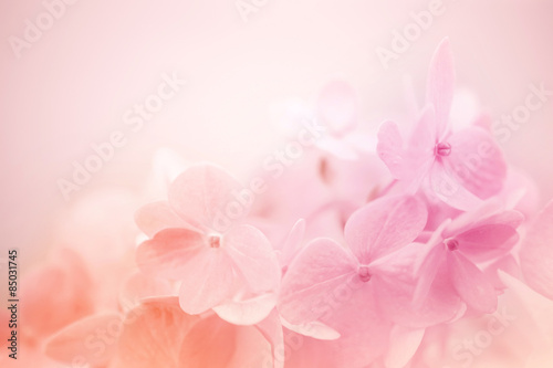 Aluminium Prints Hydrangea sweet color hydrangea in soft and blur style for background