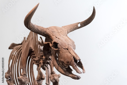 Aurochs skeleton Canvas Print