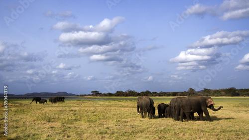 Foto op Aluminium Olifant Asian elephant in Minneriya, Sri Lanka