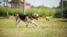 Dog Trying To Catch Yellow Ball