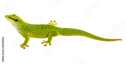 Photo  Phelsuma madagascariensis - gecko isolated on white