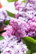 Beautiful lilac close up