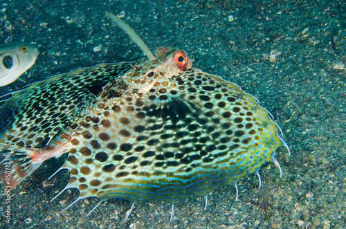 scuba diving lembeh indonesia helmut gurnard