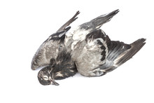 Dead Pigeon Isolated On White ...