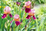 tall bearded iris flowers on meadow