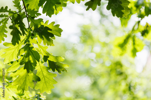 Fotografía  natural background - green oak leaves in woods