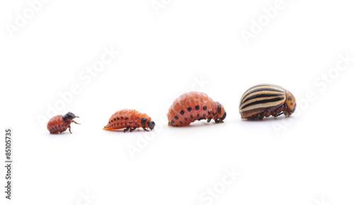 Fotografía  Potato beetles.
