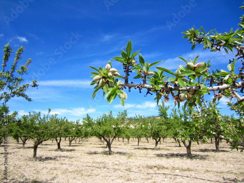 Photographie almond grove in spring