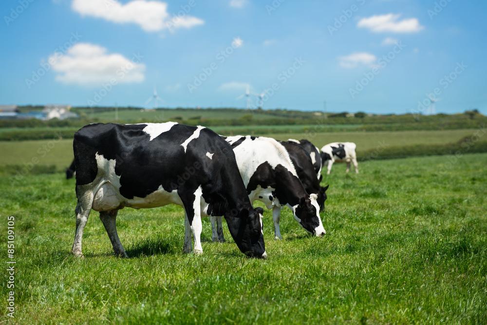 Fototapeta Dairy Cows In Cornwall