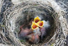 A Nest With Some Baby Birds (T...