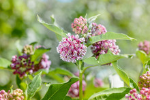Asclepias Syriaca Flower, Also...