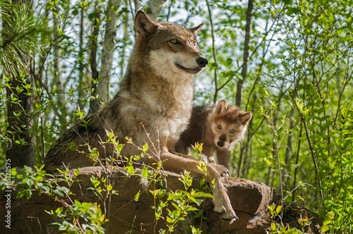 Grey Wolf (Canis lupus) Mother and Pup Sit Atop Rock Tapéta, Fotótapéta