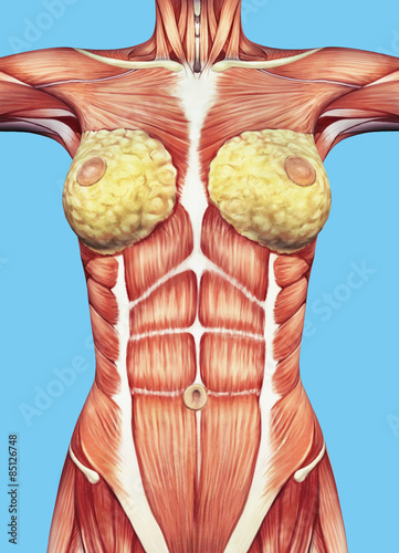 Anatomy of female chest and torso featuring major muscular groups and glands including the external oblique, rectus abdominis, pectoralis major, serratus anterior and mammary glands Fototapet