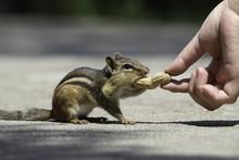 Feeding Chipmunk