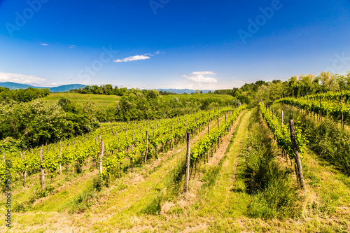 Wall Murals Vineyard grapevine field in the italian countryside