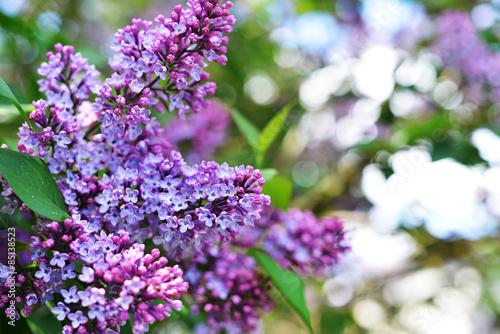 Foto op Canvas Lilac purple lilac
