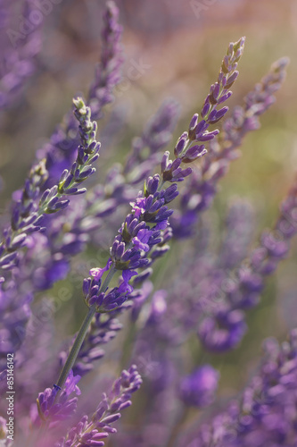 Lavender at sunset .Vintage  lavender flower background,close up Slika na platnu