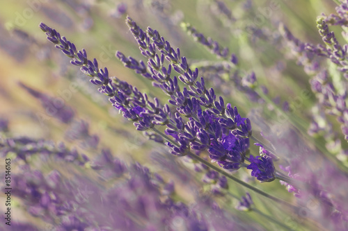 Lavender blossoms.Closeup of lavender flower growing on field Slika na platnu