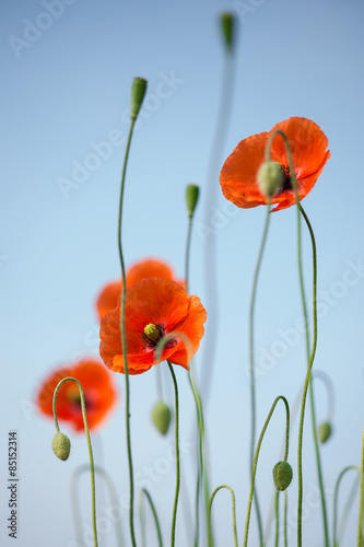 Fototapety, obrazy: Beautiful red poppies on the sky background