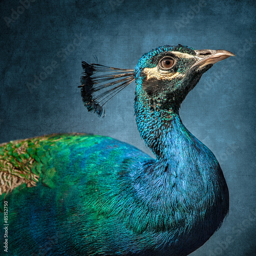 Side view of peacock against blue background
