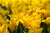 Pole żółtych tulipanów