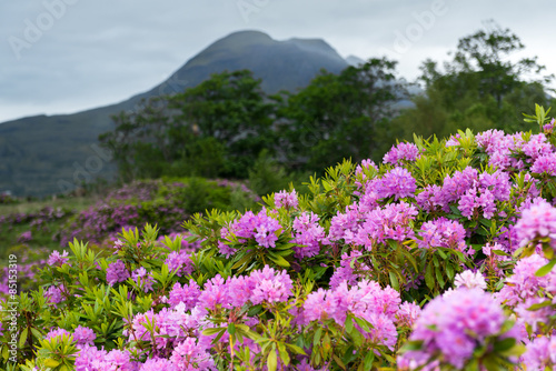 Rhododendrons, West Highland, Scotland