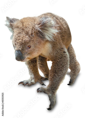 Garden Poster Koala Koala isolated