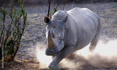 Photo sur Toile Rhino Rhino charge