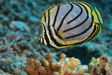 Ryba i rafa koralowa (Chaetodon Meyeri)