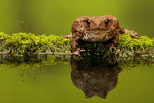 Common Toad In A Reflection Pond On A Mossy Log