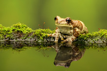 Amazon Milk Frog On A Mossy Log