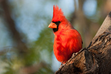 Closeup Of A Brilliant Male Northern Cardinal