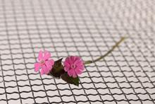 Een Dag Koekoeksbloem Silene Dioica Op Een Metaal Gazen Mat