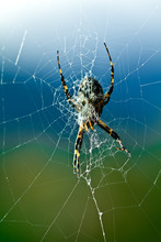 Argiope Spider In Its Web, Closeup In Morning Light With A Beautiful Background