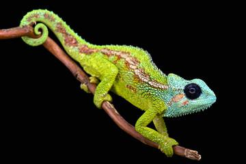 Fototapeta Mount Hanang Chameleon (Trioceros hanangensis)