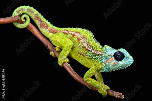 In de dag Kameleon Mount Hanang Chameleon (Trioceros hanangensis)