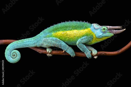 Staande foto Kameleon Jackson's chameleon (Trioceros jacksonii jacksonii)