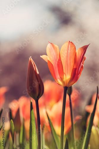 zblizenie-pomaranczowy-tulipan-w-flowerbed