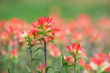 Indian Paintbrush Wildflowers In Spring Meadow
